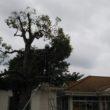 園庭の樹木剪定
